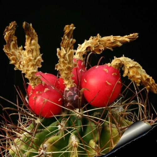 Hamatocactus setispinus flavibaccatus fr 810