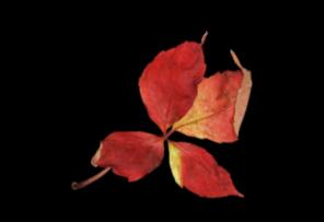 *** autumn apple ***