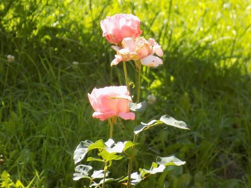 Les roses de Marie
