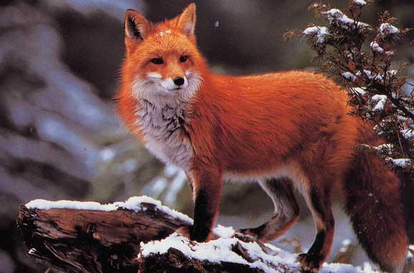 Totem - Le renard