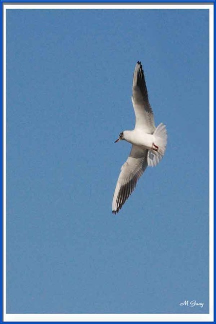 mouette-rieuse-1209.jpg