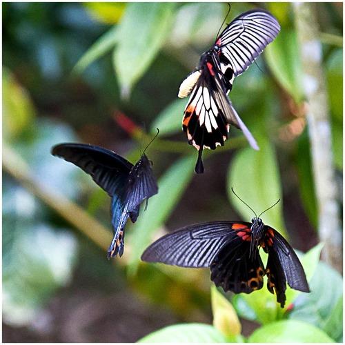 Ballet de papillons a Hoan Su Phi