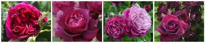 Les nouvelles roses de cet automne 2013 - Partie 2 : Le massif Pourpre