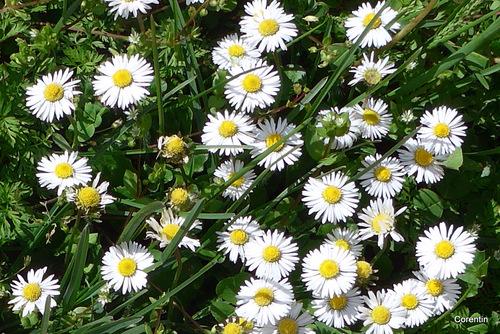 Les fleurs des pâquerettes