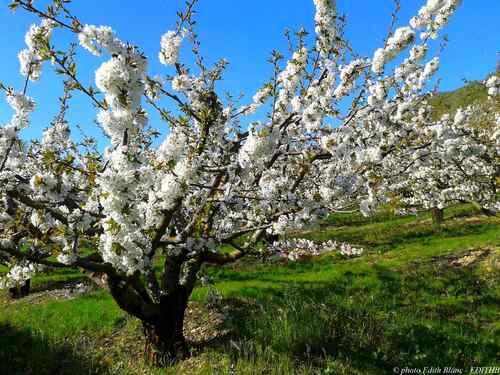 photo d'un cerisier en fleur - printemps en aveyron