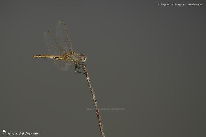 Sympetrum fonscolombii ♀ (Sympétrum à nervures rouges)