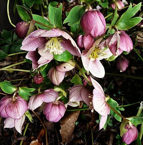 Hellebores-roses-25-02-10-020.jpg