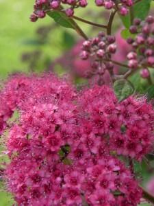 spirée fleurs