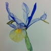 Iris très simple