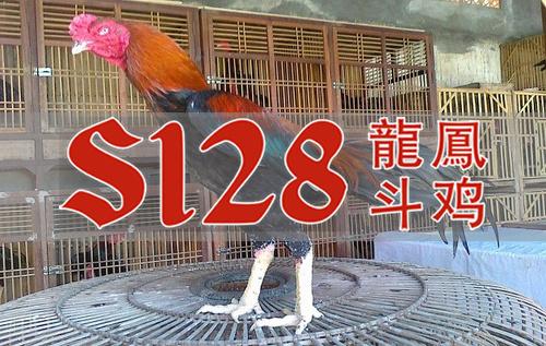 Alasan Kenapa Banyak Botoh Menggandungi Ayam Teknik Solah
