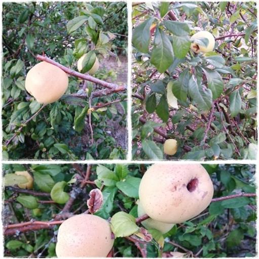 Fruits du cognassier