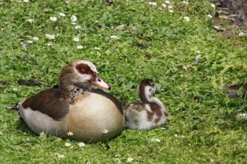 Maman oie et bébé oison ... aux aguets :-)