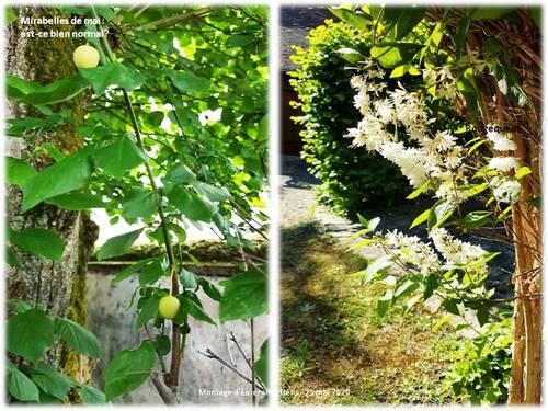 Le rougequeue nargueur de mon jardin