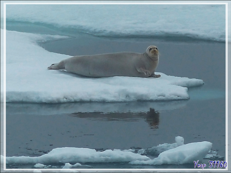 Phoque barbu, Bearded seal (Erignathus barbatus) - Mer des Tchouktches - Alaska