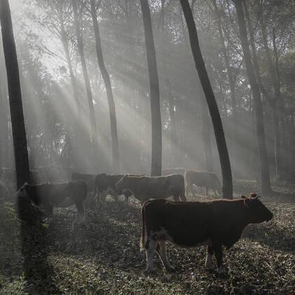 04 - Des vaches en couleurs