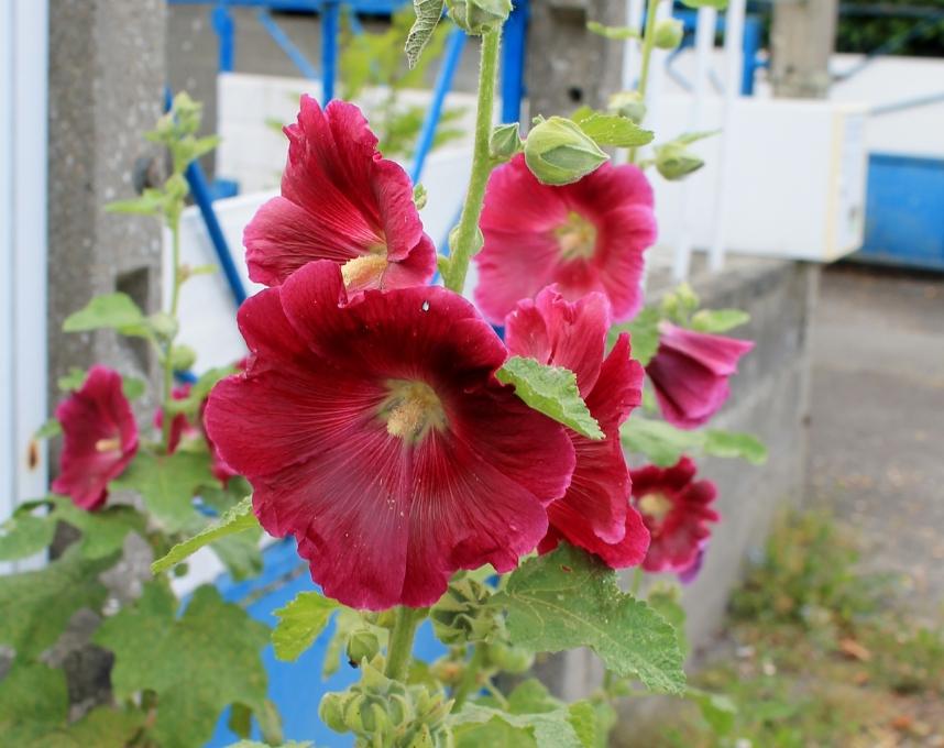 Au jardin les Roses Trémières