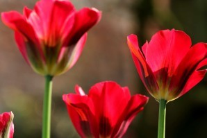 Tulipes Red Spring Green10