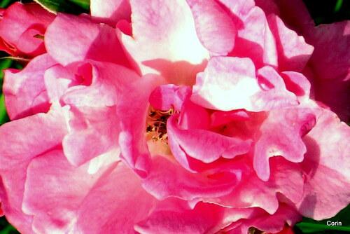 Des roses : en jaune et en rose !