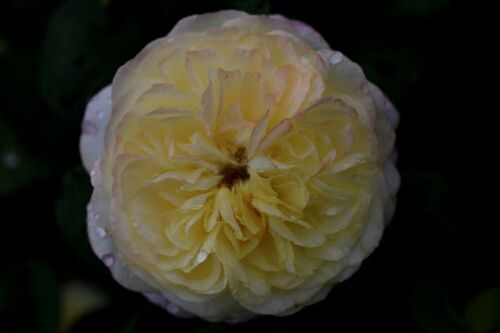 Les Roses de Warren après la grosse drache