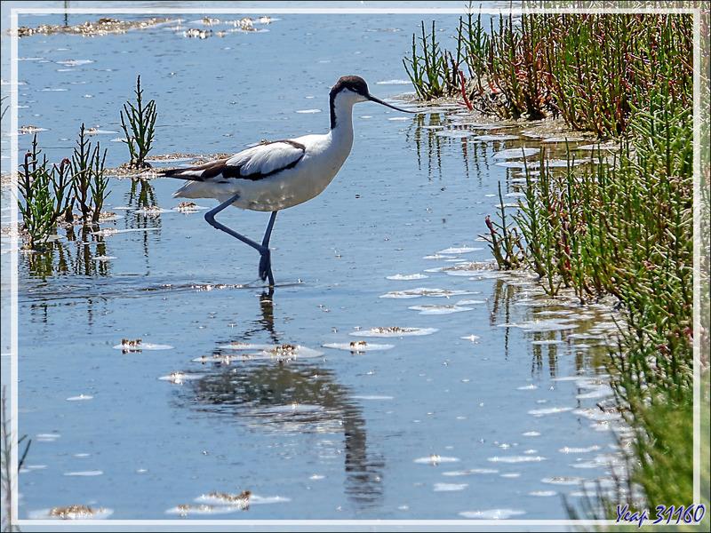 L'Avocette élégante et la Salicorne, the Pied Avocet and the Samphire (Recurvirostra avosetta) - Le Martray - Ars-en-Ré - Île de Ré - 17