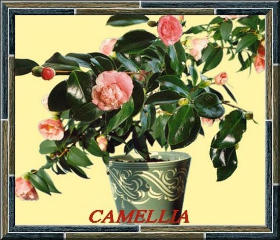 camellia.hybride