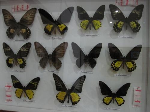 Papillons de Bali 2