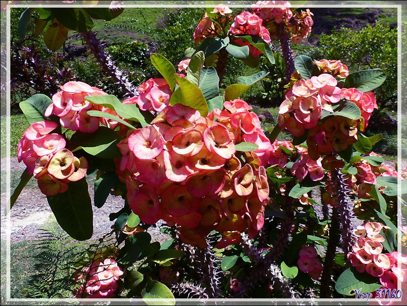Euphorbe Epine du Christ (Euphorbia milii) - Tahaa - Polynésie française