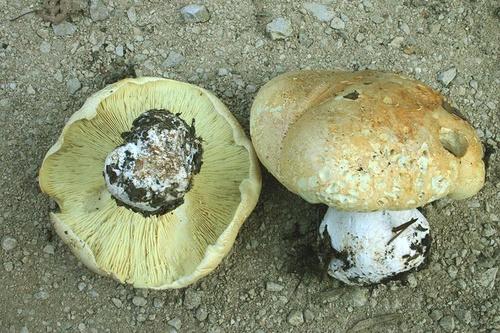 Leucopaxillus compactus