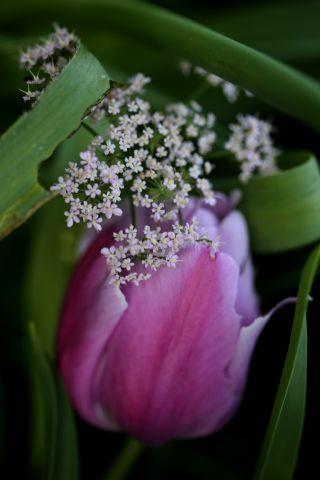 Tulipes 2020 : Holland Beauty