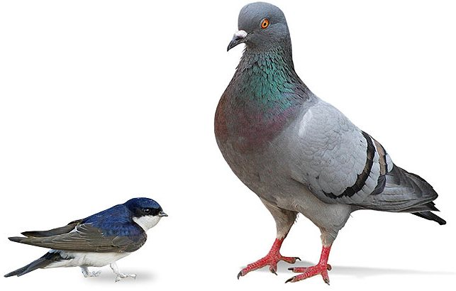 Pigeons gigeoju - Dessin de pigeon ...