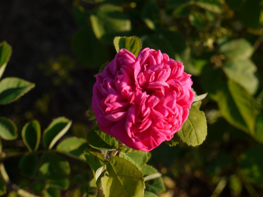 ROSES EN 2011