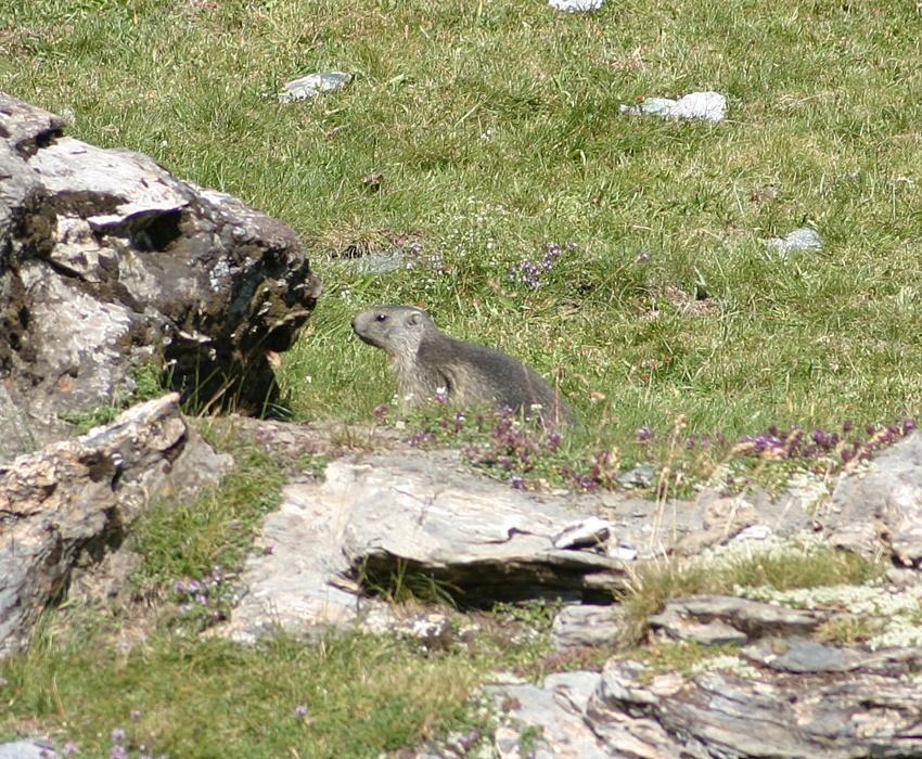 Marmottes pyrénéenne