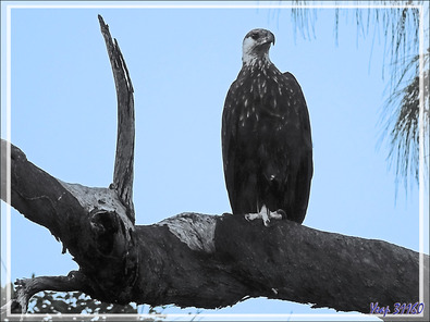 Pygargue de Madagascar, Ankoay, Madagascan Fish Eagle (Haliaeetus vociferoides) - Nosy Tsarabanjina - Archipel Mitsio - Madagascar