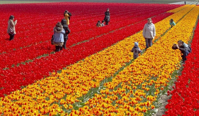 Y en a des tulipes !