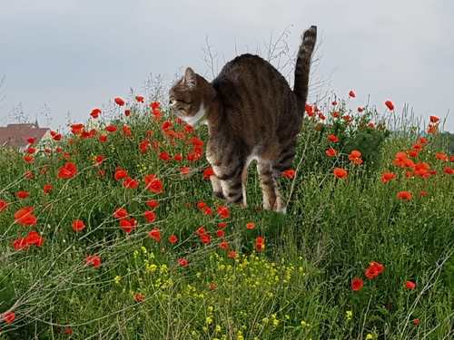 Ty punch et coquelicots