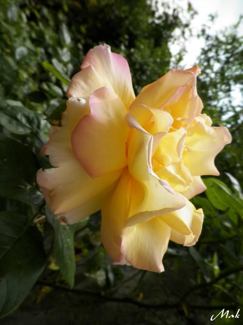 Au coeur de mon jardin - Roses jaunes