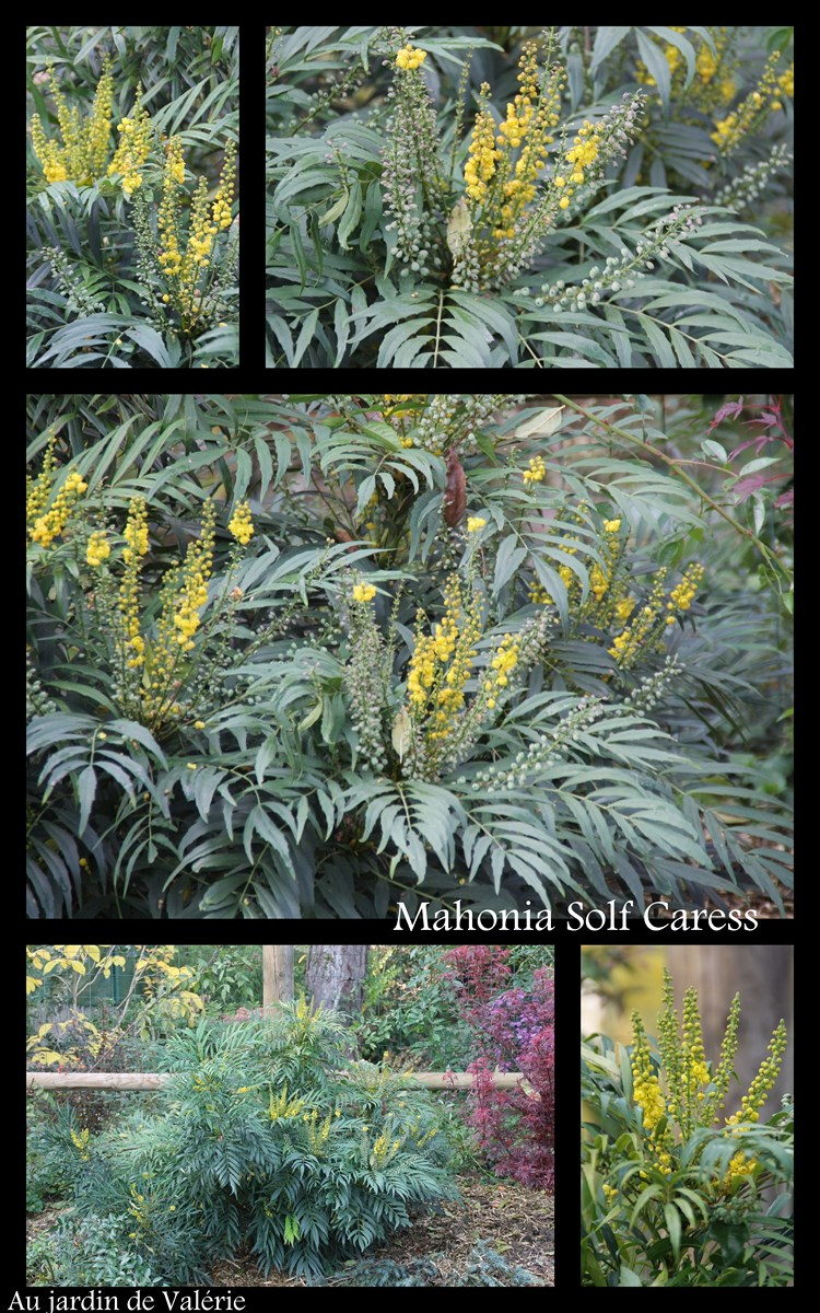 mahonia soft caress