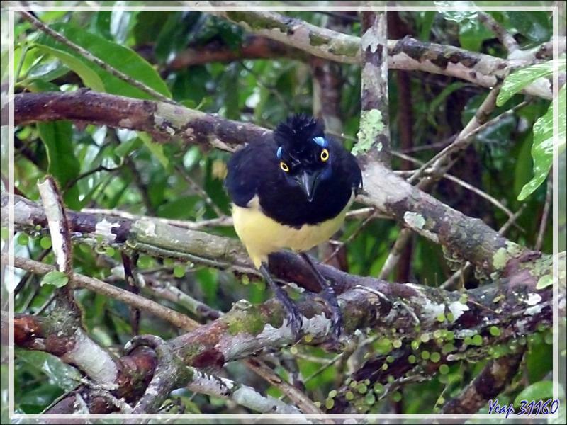 Geai acahé, Plush-crested jay, Urraca común (Cyanocorax chrysops) -  Puerto Iguazu - Argentine