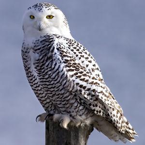 https://www.oiseaux.net/photos/rachel.bilodeau/images/id/harfang.des.neiges.rabi.20p.jpg