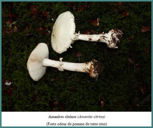 Quelques superbes espèces de champignons récoltées lors du séjour de la société Mycologique dans le parc du Morvan