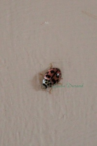 Coccinelle Rose ou Oenopia Conglobata