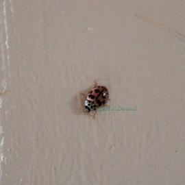 Coccinelle Rose ou Oenopia Conglobata
