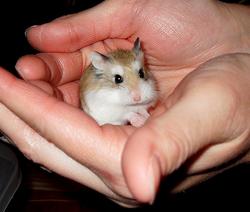hamster bol