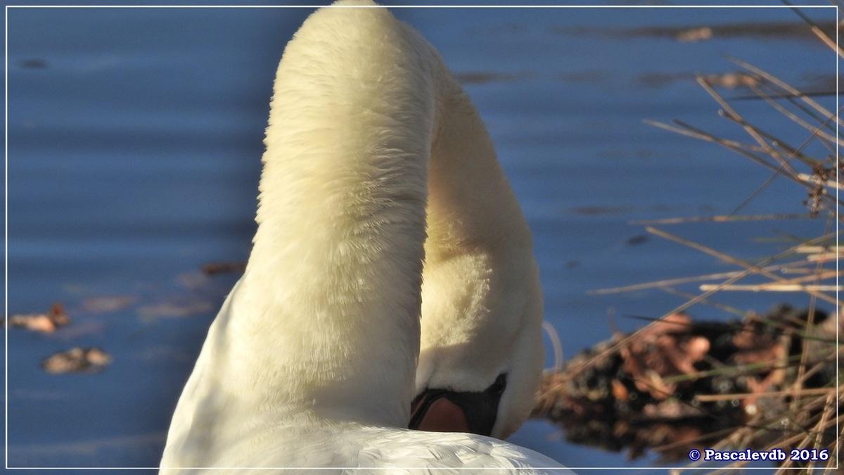 Réserve ornitho du Teich - Décembre 2016 - 9/13