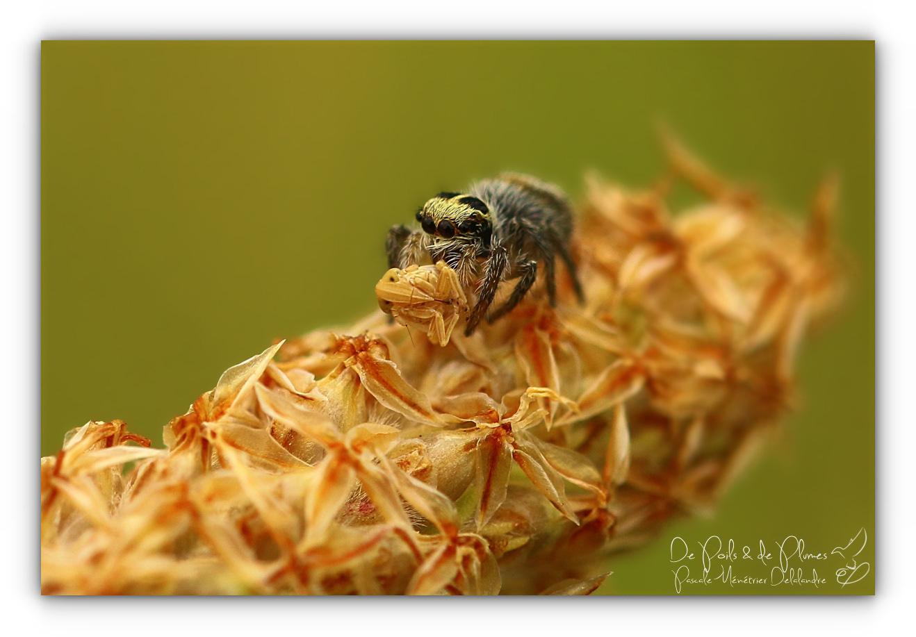 Larve de Punaise au repas d'une Philaeus chrysops ♀ (Salticidae)