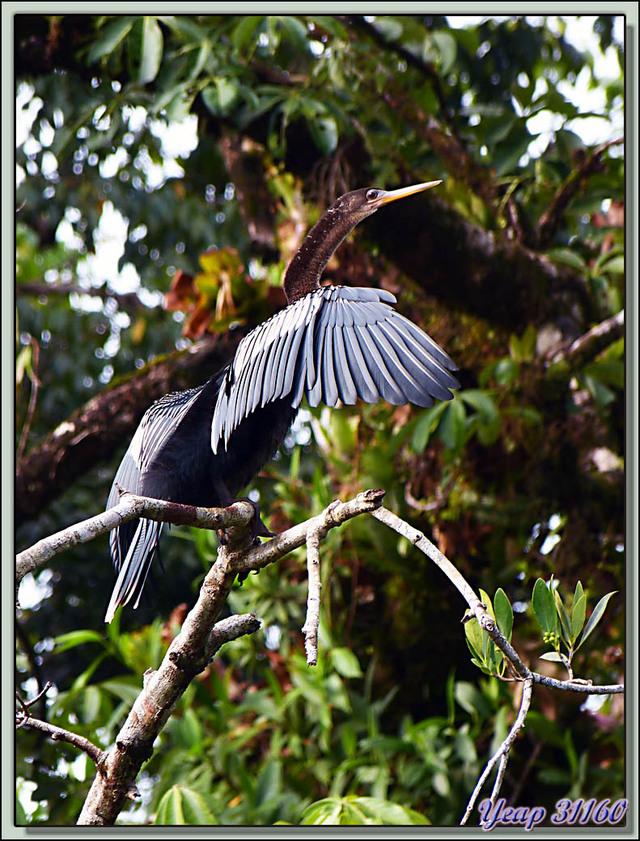 Blog de images-du-pays-des-ours : Images du Pays des Ours (et d'ailleurs ...), L'oiseau-serpent Anhinga d'Amérique (Anhinga anhinga) - Tortuguero - Costa Rica