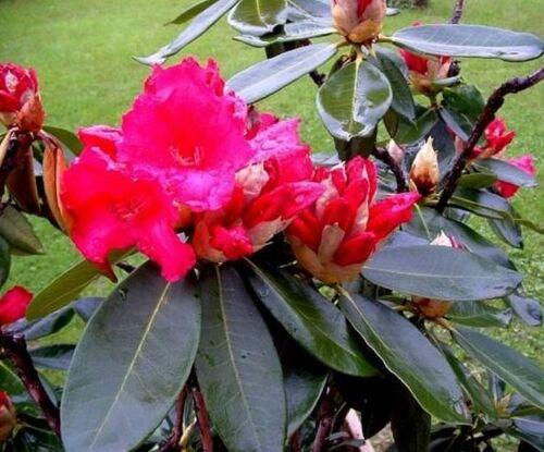 Le Rhododendron « Choremia' » De l'écaille à la beauté délicate de la fleur.