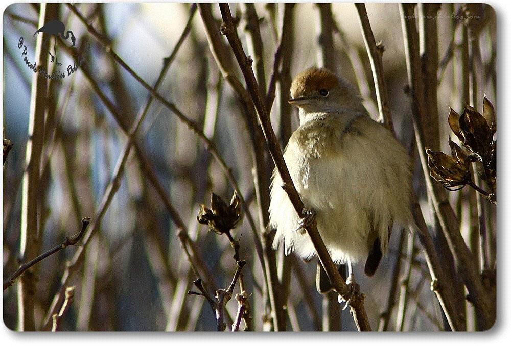 Fauvette à tête noire femelle - Sylvia atricapilla - Passériformes