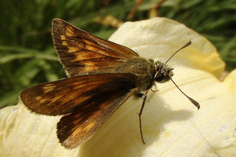 Papillon hespérie (Milhas - Haut Comminges - 31)