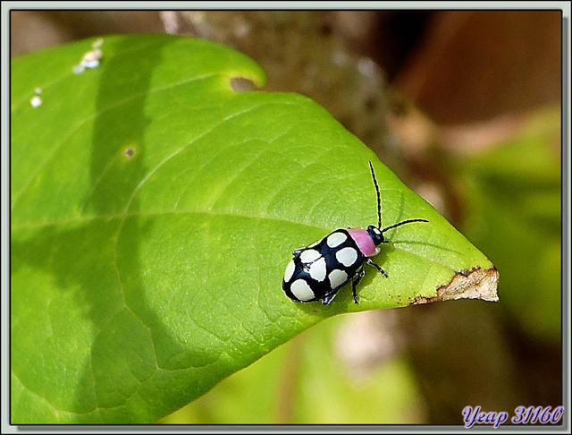 Blog de images-du-pays-des-ours : Images du Pays des Ours (et d'ailleurs ...), Petit coléoptère au thorax rose bonbon  - Isla Bastimentos - Bocas del Toro - Panama